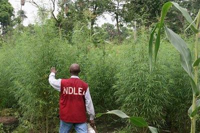 Resultado de imagen para nigerian cannabis
