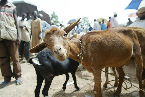 The Jigawa Government has empowered 200 women with a revolving loan that comprises of 600 goats in Buji Local Government Area to pay back in 18 months.